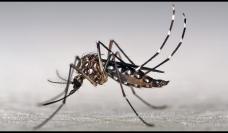 Photo: Aedes mosquito - Marcos Teixeira de Freitas/CC
